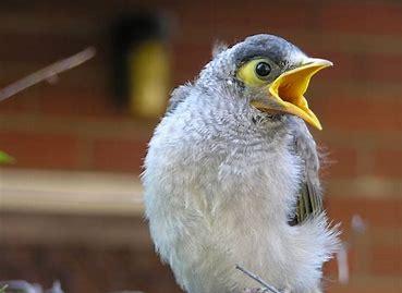 Noisy Minor bird
