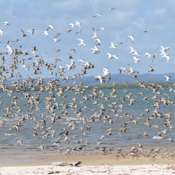 Sunshine Coast shore bird display