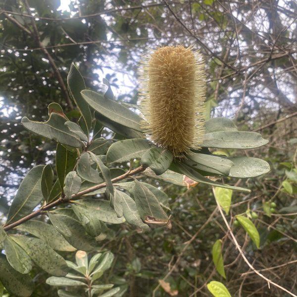 Coast Banksia (Banksia integrifolia