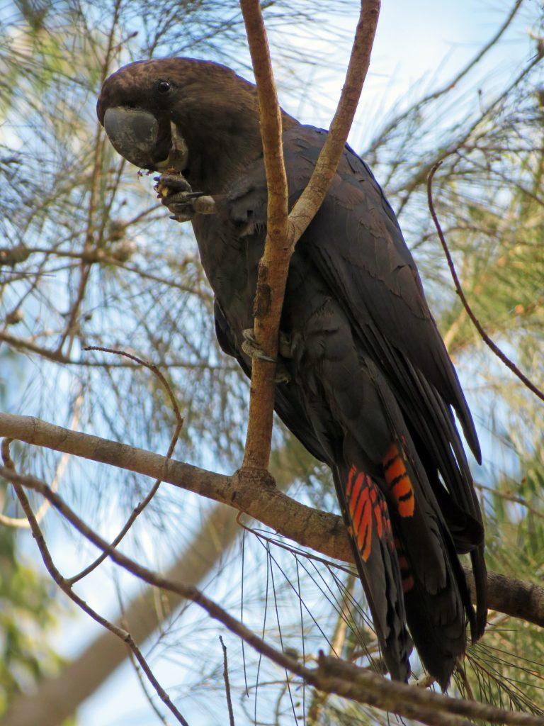 Glossy black-cockatoo Noosa National Park